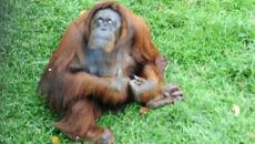 Orangutan-palacz musi zerwać z nałogiem