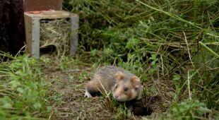 Rolnicy z Widooie w Belgi chcą ocalić chomiki
