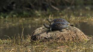 Wpuszczają do Gangesu mięsożerne żółwie. By pozbyć się ton ludzkich szczątków