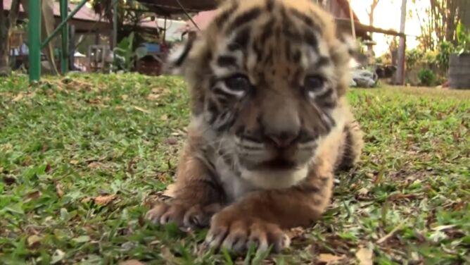 Tygrysiątko Covidziątko i pierwsza kąpiel hipcia. Te zwierzaki poprawią wam nastrój