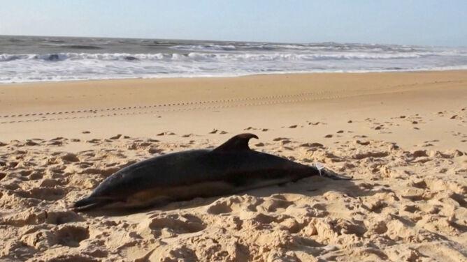 Martwe delfiny na francuskich plażach. <br />Wszystko z powodu rybołówstwa
