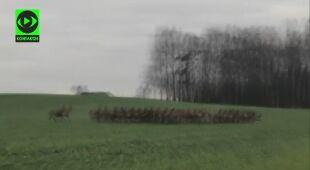 Chmara jeleni przebiegła przez drogę